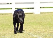 Labrador retriever (preto) Imagem de Stock