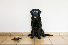 Labrador retriever preto adulto novo isolado no backgroun branco Foto de Stock Royalty Free
