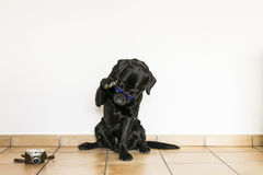 Labrador retriever preto adulto novo isolado no backgroun branco Imagem de Stock Royalty Free
