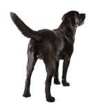 Labrador retriever preto Imagens de Stock