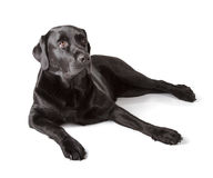 Labrador retriever preto Foto de Stock Royalty Free