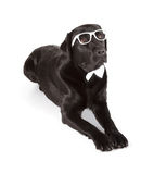 Labrador retriever preto Imagem de Stock Royalty Free