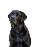 Labrador retriever preto na frente de um fundo branco Imagens de Stock