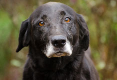 Labrador retriever preto superior com Gray Muzzle Imagens de Stock