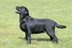 Labrador retriever preto típico no jardim Imagens de Stock