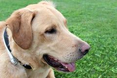 Labrador retriever-Profil Lizenzfreies Stockfoto