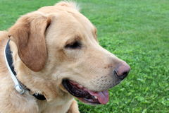 Labrador retriever profile Royalty Free Stock Photo