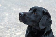 Labrador retriever pronto para a ação fotografia de stock