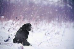 Labrador retriever, przyjaciel, śliczny, radość, wierność, zima, śnieg Obrazy Stock