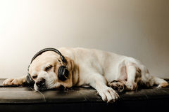 Labrador retriever psa hełmofon i dosypianie Obraz Stock
