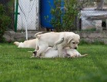 Labrador (retriever) puppies stock image