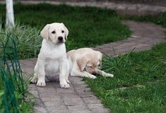 Labrador (retriever) puppies Royalty Free Stock Photo