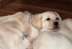 Labrador (retriever) puppies Stock Photos