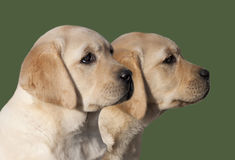 Labrador Retriever puppies Royalty Free Stock Photography
