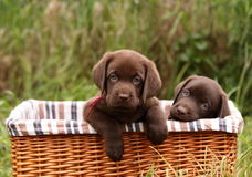 Labrador Retriever puppies Royalty Free Stock Image