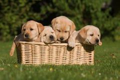 Labrador Retriever puppies in a basket. Four Labrador Retriever puppies sitting together in a basket Royalty Free Stock Photo