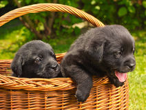 Labrador retriever puppies in a basket. In the yard Royalty Free Stock Image