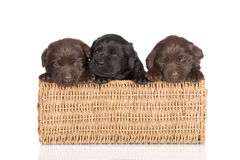 Labrador retriever puppies in a basket. 3 weeks old labrador retriever puppies on white stock photography