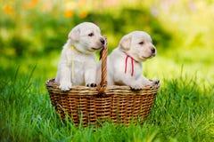 Labrador retriever puppies in a basket Stock Photo