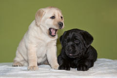 Labrador Retriever puppies Royalty Free Stock Photos