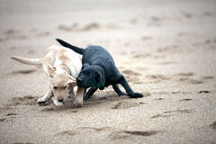 Labrador retriever puppies fighting Stock Photography
