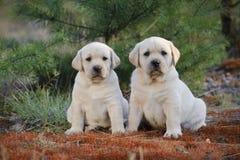 Labrador retriever puppies in garden Royalty Free Stock Photo