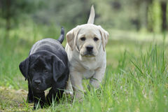 Labrador retriever puppies in garden Stock Photo