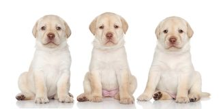 Labrador retriever puppies. Group of Labrador retriever puppies on a white background Stock Images