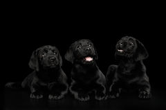 Labrador Retriever puppies isolated on black background Stock Image