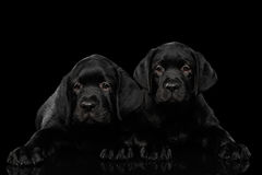 Labrador Retriever puppies isolated on black background Royalty Free Stock Photo