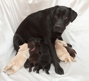 Labrador retriever puppies and mom Royalty Free Stock Image