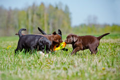 Labrador retriever puppies playing together Stock Photo
