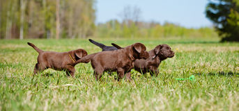Labrador retriever puppies playing together Royalty Free Stock Images