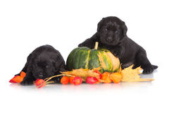 Labrador retriever puppies with a pumpkin stock photo