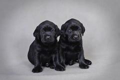 Labrador retriever puppies Stock Photos