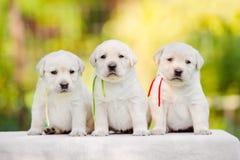 Labrador retriever puppies Stock Images