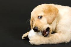 Labrador retriever puppy Royalty Free Stock Photo