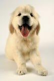 Labrador retriever puppy Stock Photography