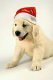 Labrador retriever puppy Stock Images
