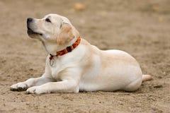 Labrador retriever puppy Royalty Free Stock Photography