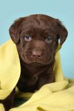 Labrador retriever puppy Royalty Free Stock Images