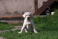 Labrador (retriever) puppy. Sitting on the grass lawn Royalty Free Stock Image
