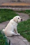 Labrador (retriever) puppy Royalty Free Stock Photography