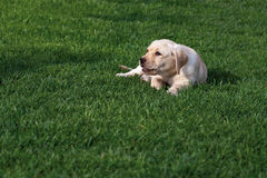 Labrador (retriever) puppy Stock Photo