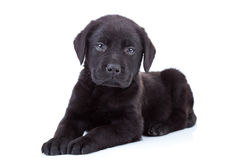 Labrador retriever puppy Stock Image