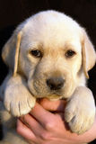 Labrador retriever puppy 3 Royalty Free Stock Photography