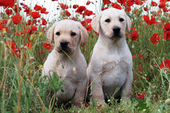 Free Labrador Retriever Puppy Stock Image - 33686751
