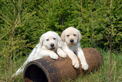 Free Labrador Retriever Puppy Stock Photography - 33738192