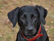 Labrador retriever puppy. South Bohemia Stock Photos