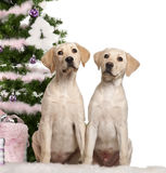 Labrador Retriever puppy, 4 months old. Sitting with Christmas tree and gifts in front of white background Royalty Free Stock Photos